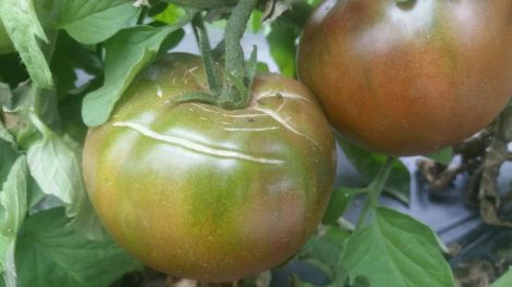 black heirloom tomatoes