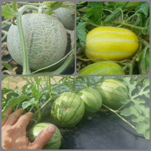 Clockwise from top right: Ginkaku melon (has white flesh), Himey Kansen watermelon (a Japanese mini watermelon variety), Ichiba Kouji (has a green flesh)