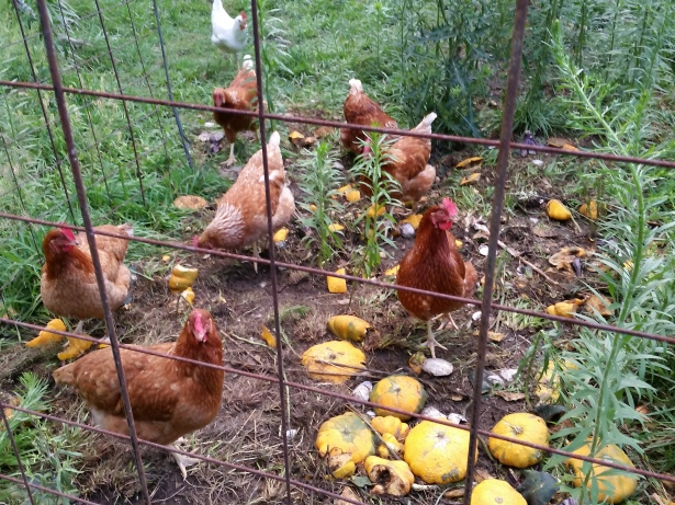 MGF chicks feeding on veggie scraps