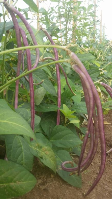 Mosaic Chinese Long Beans