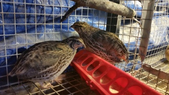 Quails had an easy winter. They're the only ones that got automated heat and lights.