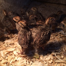 Baby quails (Quicks?) just two weeks old