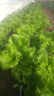 Green leaf lettuce heads