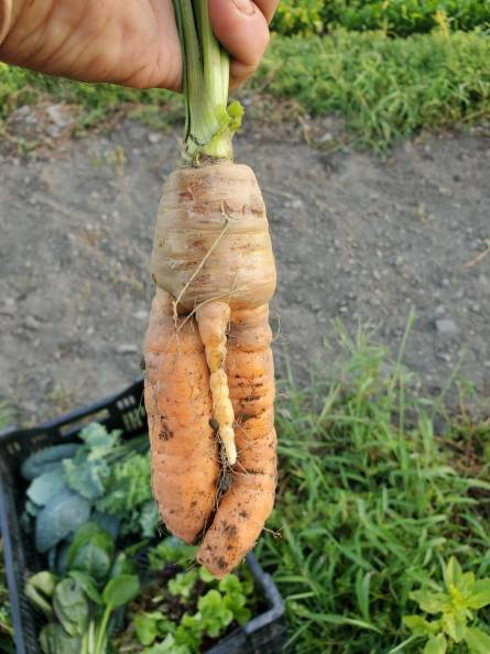 3 legged carrot