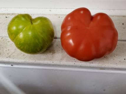MGF tomato hearts