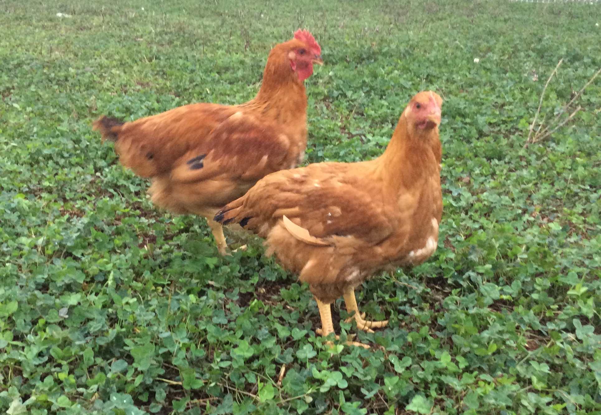 meat pullet and cockerel